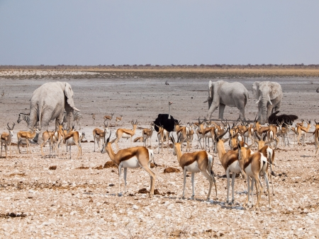 Many animals at waterhole  elephant, springbok, ostrich  im Etosha National Park  Namibia