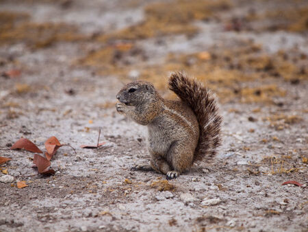 Eating Cape ground squirrel in dry land  Xerus inauris  photo