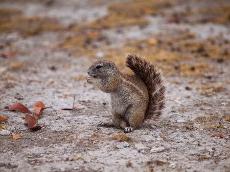 cape ground squirrel: Eating Cape ground squirrel in dry land  Xerus inauris