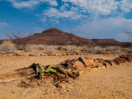 petrified fossil: Landscape at Petrified forest in Damaraland with welwitschia plant  Namibia