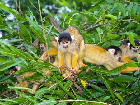 sciureus: Group of yellow squirrel monkeys in the bush  saimiri sciureus