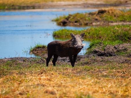 bush hog: Warthog (Phacochoerus africanus) en la sabana en un safari safari Foto de archivo