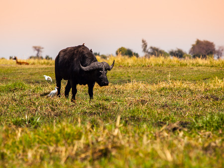 chobe national park: Big black buffalo in grasslands of Chobe Riverside Stock Photo