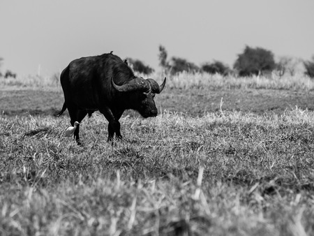 Big black buffalo in grasslands of Chobe Riverside (black and white photography) photo