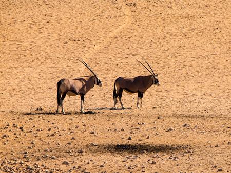 Two oryx antelopes near Aus waterhole  Namibia  photo