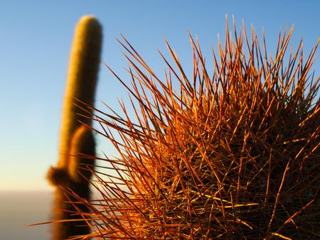 incahuasi: Cactus at Incahuasi Island in morning sunlight (Bolivia)