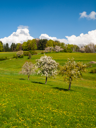 Three fruit trees in the middle of the meadow in sunny spring day photo