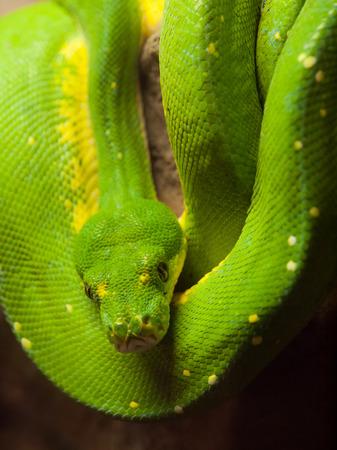 viridis: Green tree python (Morelia viridis) - rain forest snake Stock Photo