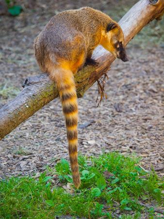 Coati (Nasua nasua) with long tail sitting on the branch Stock Photo