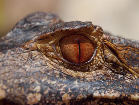 brown eye: Brown eye of caiman in close-up view Stock Photo