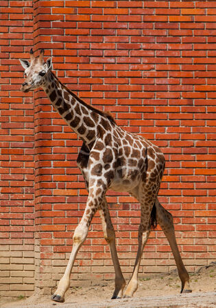 girafe: Young girafe in front of the brick wall
