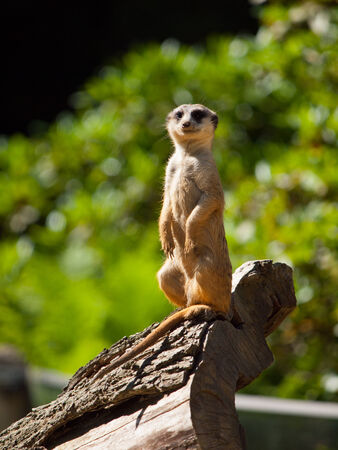 Meerkat sitting and watching around (Suricata suricatta) photo