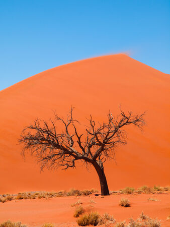 Acacia tree in front of Dune 45 in Namid desert (Namib Naukluft National Park Namibia) photo