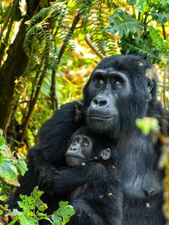 Gorrila mother and her baby in the bush of Uganda 스톡 콘텐츠