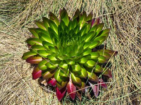 lobelia: Young giant lobelia (Lobelia deckenii) in the grass (Uganda) Stock Photo