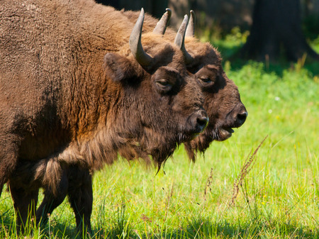 Two european wood bisons (wisent or Bison bonasus) in Bialowieza forest photo