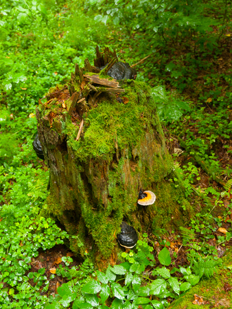 Green tree stump covered by moss, polypores and mushrooms photo