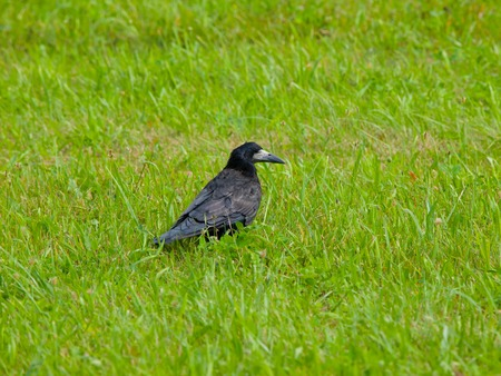 Black crow sitting in the green grass photo