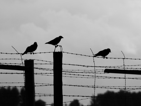 cuervo: Tres cuervos se sientan en la cerca de alambre de p�a, silueta Foto de archivo