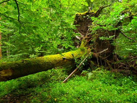 Uprooted tree fallen in the Bialowieza forest Imagens - 33237700