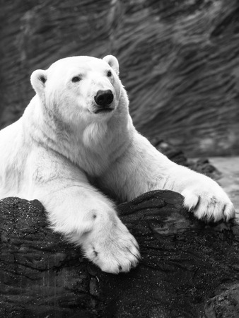 Lying polar bear situated on a rock Imagens