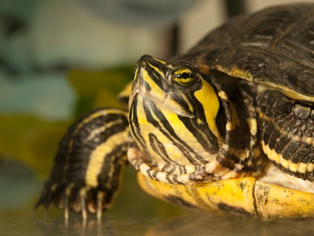 detailed view: Detailed view of turtles head, side view, Trachemys scripta elegans