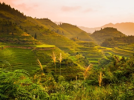 rice terrace: Green rice terrace fields in summer, China