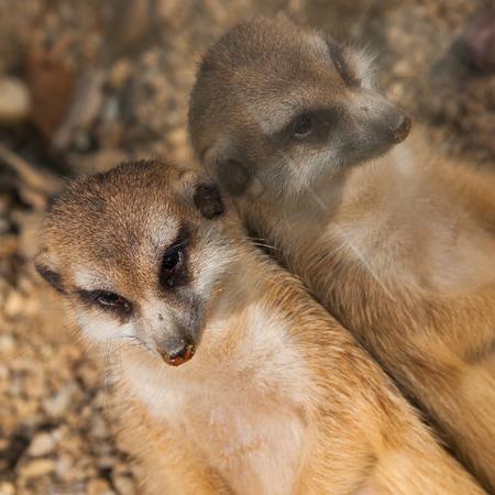 suricata suricatta: Lazy meerkat leaning against mirror, Suricata suricatta
