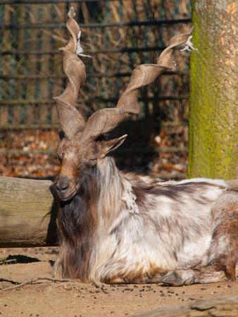 Markhor wild goat (Capra falconeri heptneri) lying in the zoo   photo