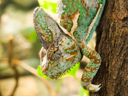 veiled: Veiled chameleon walking down the trunk, detailed view, Chamaeleo calyptratus Stock Photo