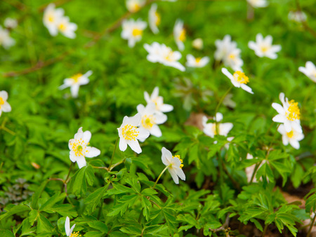 windflower: White wood anemones carpet in the spring forest