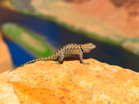 sagebrush: Colorful sagebrush lizard on the rock at Colorado Horshoe Bend, Arizona, USA
