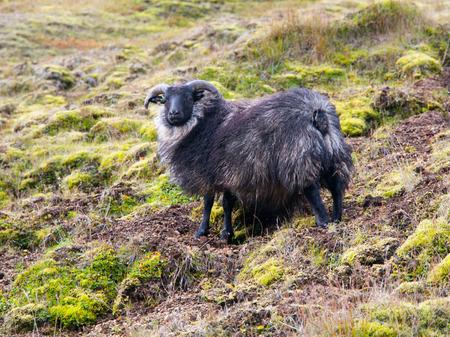 mouton noir: Islandais debout mouton noir dans la pente raide