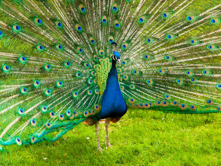 Portrait of beautiful peacock with colorful feathers fanned out photo