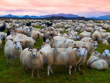 Large herd of sheeps in the evening, Iceland