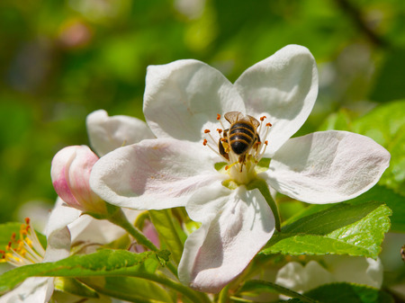 stamen wasp: Bee on a flower of the white cherry blossoms
