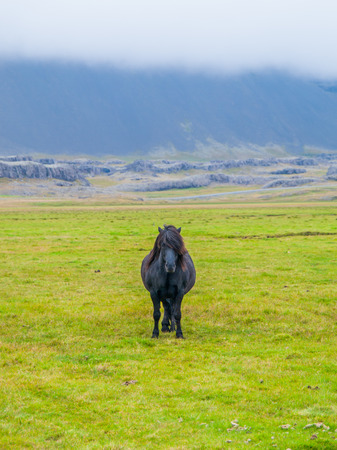 sawhorse: Lonesome icelandic horse, frontal view from a quite far distance, Iceland
