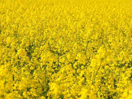 bio diesel: Yellow field of rape plant, used for making canola oil or adding in biofuel Stock Photo