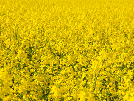 canola plant: Yellow field of rape plant, used for making canola oil or adding in biofuel, yellow background Stock Photo