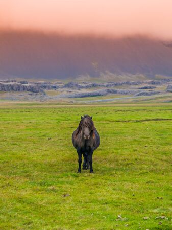 sized: Lonesome icelandic horse, frontal view from a quite far distance, Iceland