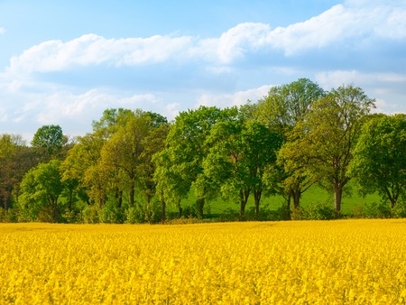 rapeseed: Field of yellow rapeseed plant with country road, green alley and blue sky