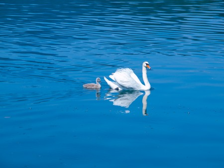 cygnet: White swan with young grey cygnet on a blue lake