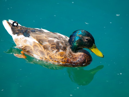 drake: Adult drake swimming in the blue water Stock Photo