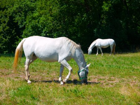 lipizzan horse: Two lipizzaner horses grazing on a green meadow in Lipica, Slovenia