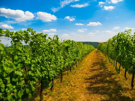 vineyard at sunset: View of green vineyard row in summer time, Moravia, Czech Republic Stock Photo