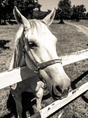 lipizzan horse: Portrait of Lipizzaner stallion standing behind fence, Lipica, Slovenia