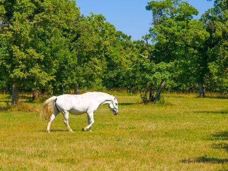 lipizzaner: Lipizzaner stallion walks on pasture in sunny day, Lipica, Slovenia