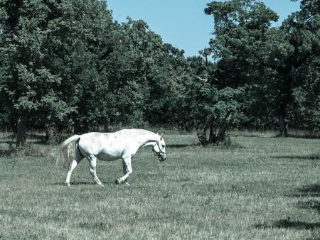 lipizzaner: Lipizzaner stallion walks on pasture in sunny day, Lipica, Slovenia, cold tone image Stock Photo