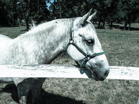 lipizzaner: Portrait of white Lipizzaner stallion, Lipica, Slovenia, cold tone image
