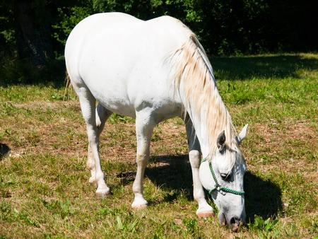 lipizzaner: White Lipizzaner stallion grazing on a meadow in sunny day, Lipica, Slovenia